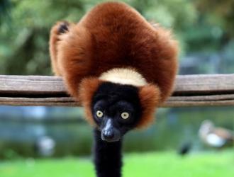 Rod-vari_lemur